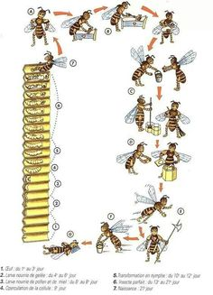 Life Cycle - Good visual for children. This is very easy for your children to follow when you introduce them to the world of beekeeping. Show them our great kids friendly beekeeping intro videos: https://www.youtube.com/playlist?list=PLfE6cWwwWKohLHWVc60tgnU3HzLUSGqXo: