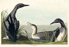 Black-Throated Diver from Birds of America by John James Audubon - etched by Robert Havell - Amsterdam, Audubon Birds, Audubon Prints, Birds Of America, John James Audubon, Bird Drawings, Vintage Wall Art, Free Illustrations, Canvas Artwork