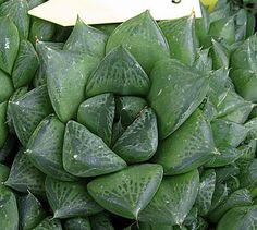 Plantas Suculentas: Haworthia cuspidata
