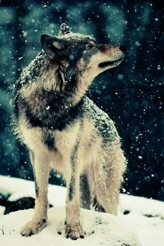 """""""Researching 'Lone Wolf,' I was amazed at how thoughtful and intelligent these animals are. There has never been a documented attack against a human by a wolf that wasn't provoked by the human. Wolf Love, Bad Wolf, Beautiful Creatures, Animals Beautiful, Beautiful Things, Majestic Animals, Beautiful Boys, Beautiful Images, Tier Wolf"""
