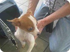 San Antonio, TX - Chihuahua Mix. Meet PEP, a puppy for adoption. http://www.adoptapet.com/pet/11834841-san-antonio-texas-chihuahua-mix