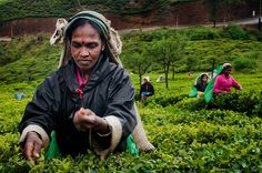 Nuwara-Eliya the 'heart' of the tea country located at an elevation of 1980 meters in the central highlands of a tropical island, Sri Lanka, Going On Holiday, Beautiful Islands, Places To See, About Me Blog, Tours, Tea, Highlands, History