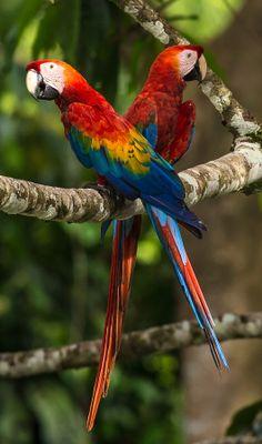 Scarlet macaw couple - by Zoltan Szabo
