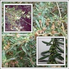 Incayuyo Es conocida desde la antigüedad y ha ayudado a muchas personas a recuperar la salud. se emplea la planta completa.
