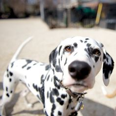 Brody, Dalmatian, Tompkins Square Park, New York, NY//the dogist