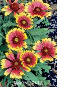 Monrovia's Bijou Blanket Flower details and information. Learn more about Monrovia plants and best practices for best possible plant performance.