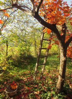 .  source Harvesting Persimmons  ☽⁎˚*☀ Mystique, autumn, nature ✵ ⁎ *☾