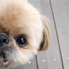 Daily Dougie the Shih Tzu Merchandise and Contact Information