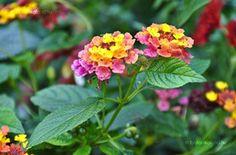 Sétányrózsa Lantana Camara, Flowers, Plants, Spirit, Gardening, Lawn And Garden, Plant, Royal Icing Flowers, Flower