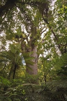Photo of a large kauri tree in Tounson Kauri Park, Northland, New Zealand.