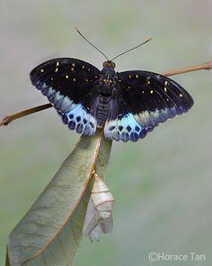 Archduke Butterfly