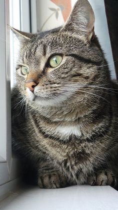 Beautiful Tabby - looks EXACTLY like our beautiful Po-Tass who owned us many years ago. She was such a sweet girl.