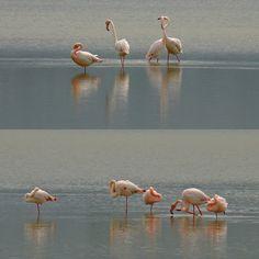 Flamingo,s in Greece by TracyGymellasPhotography on YouPic Kos, Flamingo, Greece, Salt, Birds, Nature, Photography, Animals, Island