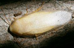 "Panchlora sp. ""White"" invertebratedude.blogspot.com German Cockroach, Roaches, Creepy, Life"