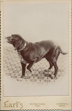 1890s cabinet card of older dog with fancy collar. Photo by Marion Earl (Earl's Studio), Casnovia, Mich. From bendale collection