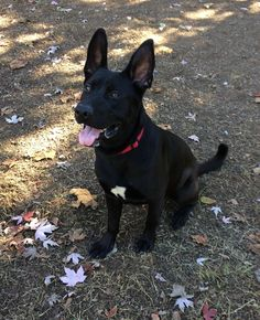 Blake is an adoptable Labrador Retriever, German Shepherd Dog Dog in Gridley, CA Blake is as sweet and intelligent as he is handsome! This big boy is very lovable and playful.  ... ...Read more about me on @petfinder.com