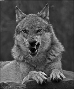 Wolf Spirit, Spirit Animal, Beautiful Wolves, Animals Beautiful, Wolf Pictures, Animal Pictures, Tier Wolf, Animals And Pets, Cute Animals