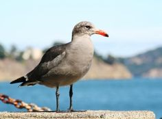 Seagull on Sausalito waterfront - Marin County, CA