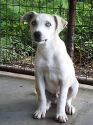 #WVIRGINIA #URGENT ~ Chases gorgeous blue eyes will steal your heart. Hes approx. 3mos old, 20lbs  we think a Catahoula mix #puppy dog. Hes a bit shy at 1st meeting new ppl  slow gentle kindness will help him learn trust. Hes in need of a loving #adopter or #rescue at PRESTON COUNTY ANIMAL SHELTER 278 Poor Farm Rd #Kingwood WV 26537 pcanimalshelter@gmail.com Ph 304-329-3461 or 304-329-7019