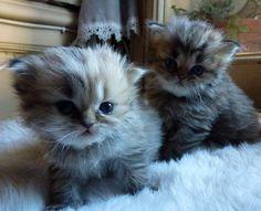 cute fluffy kittens