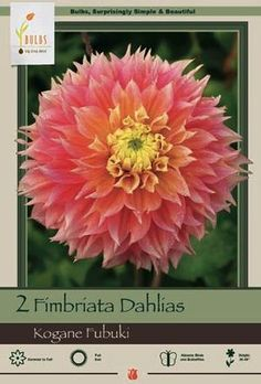 Dahlia Fimbriata Kogane Fubuki from Netherland Bulb Company - Upright stems support a Dutch summer favorite that blooms all summer long. Easy to grow. Plant in moist fertile soil in full sun. Pinch excess buds and deadhead for more and larger blooms, water well during growing season, especially when grown in containers.