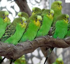 Wow wild Budgies in Australia proving how much they enjoy each others company. Wild Budgies, Budgies Parrot, Budgie Parakeet, Parakeets, Cute Birds, Pretty Birds, Beautiful Birds, Exotic Birds, Colorful Birds