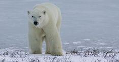 Churchill Polar Bear Tour   Natural Habitat Adventures