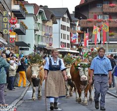 Cows coming Home from the Alps in Wengen