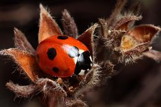 7-Spot Ladybird on Potentilla by ~oneofakindo