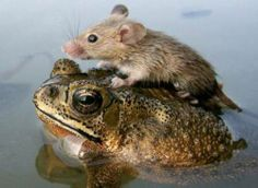 Unlikely Animal Friendship - Toad and Mouse. Source: http://www.factzoo.com/