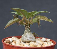 """Dorstenia foetida exotic bonsai caudex rare succulent plant cactus cacti 4"""" pot"""