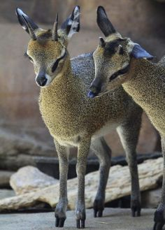 """The klipspringer, is a small species of African antelope. The word klipspringer literally means """"rock jumper"""" in Afrikaans. The klipspringer is also known colloquially as a mvundla."""