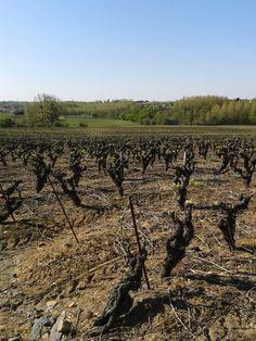 Les vignes de Mouzillon!