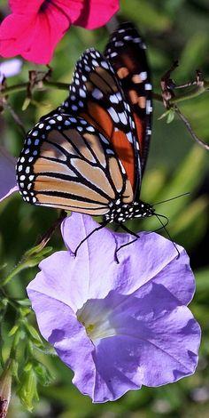 http://hafiziidrisphotography.blogspot.com/ butterfly