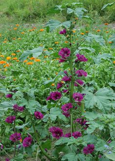 malva sylvestris mauritiana - fait aussi partie de mes plantes préférées, se ressème gentiment. Aucun parfum. Fleurit sans discontinuer jusqu'aux gelées. Hauteur 1m30