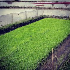 Fluorescent green rice plants; the paddies around the farm are planted for a new harvest season joy! . . . . #goodearthfarm #permaculture #farm #organic #bali #ubud #rice #ricefields #traditional #growingfood #balipermaculture #gardening #garden #planting #harvest #groworganic #farmtotable #community #health #sustainable #mindfulness #awakening #ecofriendly #earth #organicgardening #farmlife #smallfarmers #smallfarms