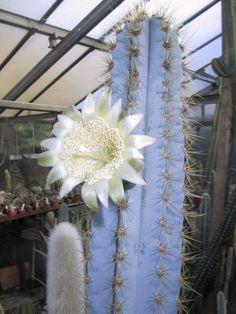 Blue Pilosocereus (glausescens, azureus, magnificus, sergipensis, or purpureus)