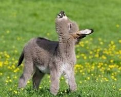 Baby Donkey, Cute Donkey, Mini Donkey, Cute Little Animals, Cute Funny Animals, Beautiful Horses, Animals Beautiful, Farm Animals, Animals And Pets