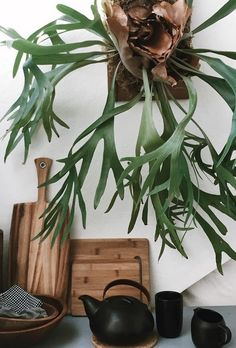 jenwalkersfCoveting your Staghorn Fern