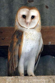 by Scott Hess | Flickr... JG: my very favorite owl!!!!! Beautiful.