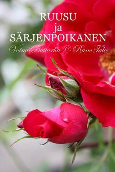 RunoTalon voimapuutarha: Voimaruno & voimakortit vko 49: Ruusu ja särjenpoikanen