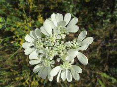 Raccontare un paese: fiori spontanei bianchi  3 foto