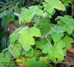 Malva de mentol - Pelargonium tomentosum
