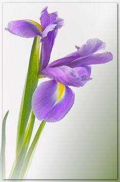 // Blue Iris  // Serene's favourite flower