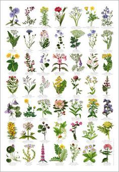 Wonderful Flower Poster for Kids. Learn about 49 common wildflowers with this wonderful poster. Botanical Art, Botanical Illustration, Flower Identification, Wonderful Flowers, Motif Floral, Planting Flowers, Flowering Plants, Flower Gardening, Gardens