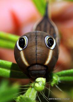 Tersa Sphinx Moth Caterpillar~Amazing Photo By Matt Sullivan! Beautiful Bugs, Beautiful Butterflies, Amazing Nature, Cool Insects, Bugs And Insects, Weird Insects, Sphinx Moth Caterpillar, Beautiful Creatures, Animals Beautiful