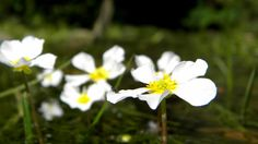 Water Flowers ..  #IFollowRivers