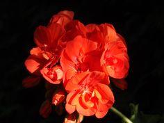 pelargonium zonale