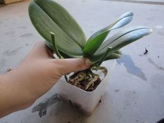 Orchidee: ecco dei consigli semplici ed efficaci per farle rifiorire Garden Plants, House Plants, Natural Pink Lips, Chlorophytum, Organic Horticulture, Vegetable Garden Tips, Tropical Backyard, Growing Orchids, Orchid Plants