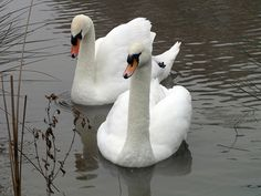 Image result for pictures of white swans